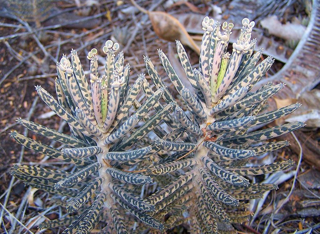 Bryophyllum delagoense.