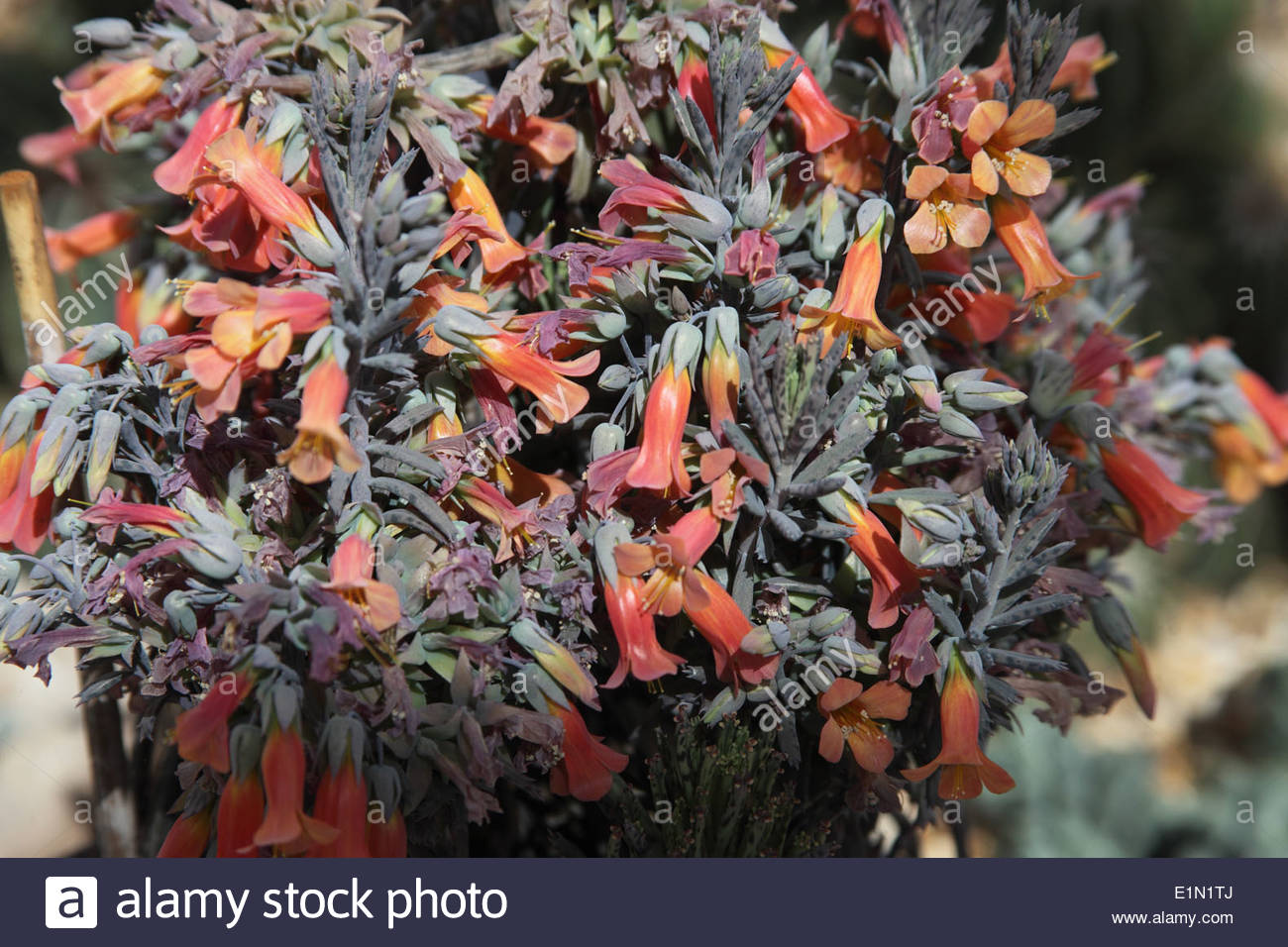 Bryophyllum Delagoense Close Up Of Flowers Stock Photo, Royalty.