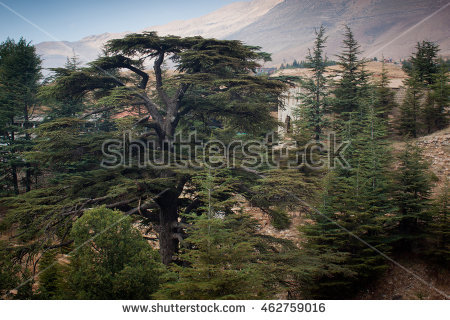 Lebanon Cedar Stock Photos, Royalty.
