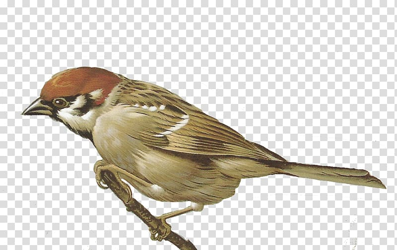House Sparrow , sparrow transparent background PNG clipart.