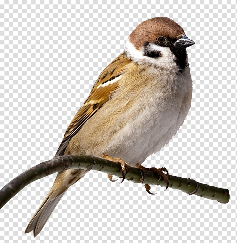 House Sparrow Bird , sparrow transparent background PNG.