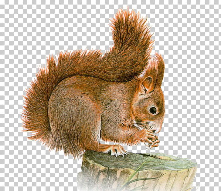 Eastern gray squirrel Basabizitza Animal , Bu PNG clipart.