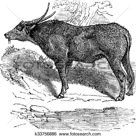 Clip Art of Water buffalo or Bubalus bubalis, buffalo, Indian.