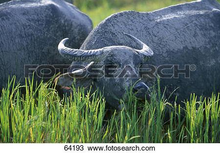 Stock Photo of Wild water buffalo (Bubalus bubalis) in rice field.