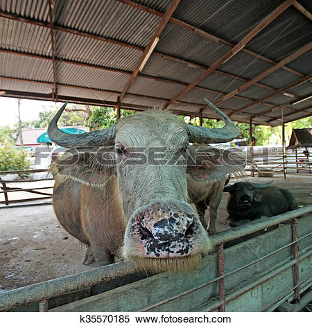 Stock Image of asian water buffalo or bubalus bubalis k35570185.