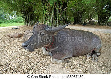 Stock Images of asian water buffalo or bubalus bubalis in farm.