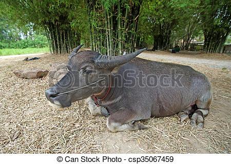 Stock Images of asian water buffalo or bubalus bubalis in farm.
