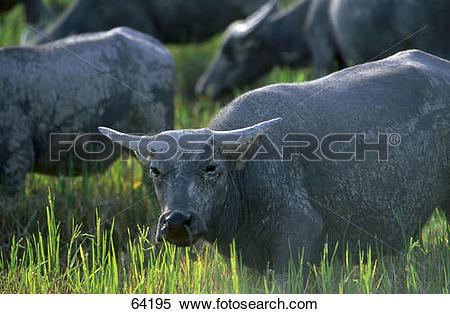 Stock Image of Wild water buffalo (Bubalus bubalis) in rice field.