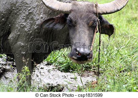 Stock Photographs of Carabao WB.