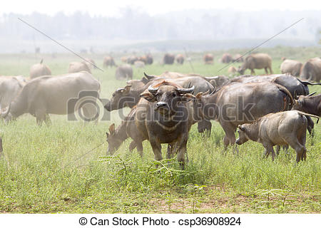 Stock Photo of water buffalo or domestic Asian water buffalo.