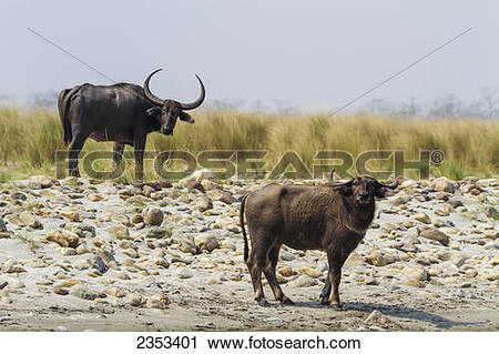 Stock Photography of Two water buffalo (Bubalus bubalis) stand by.