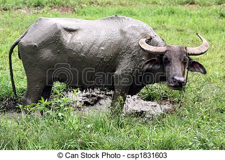 Stock Photos of Carabao WB.