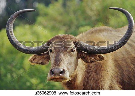 Pictures of Domestic water buffalo near Ooty, Bubalus bubalis.