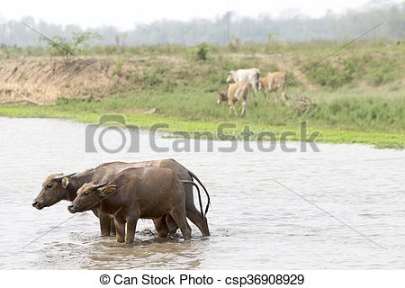 Stock Photo of water buffalo or domestic Asian water buffalo.