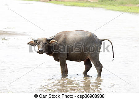Stock Photos of water buffalo or domestic Asian water buffalo.