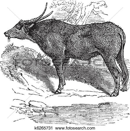 Clipart of Water buffalo or Bubalus bubalis, buffalo, Indian.