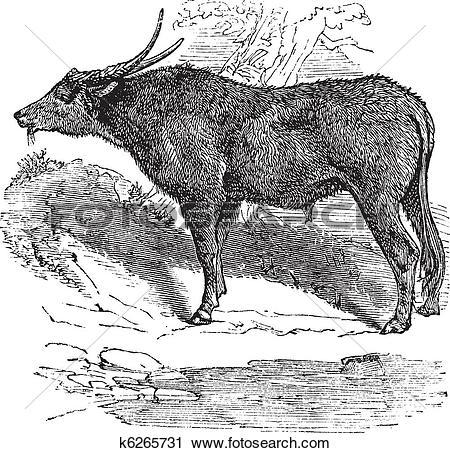 Clipart of Water buffalo or Bubalus bubalis, buffalo, Indian.