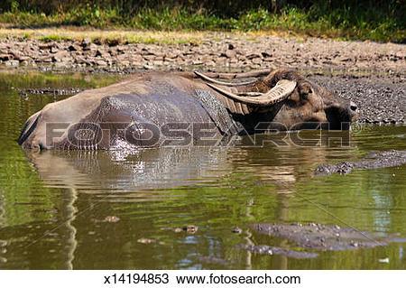 Stock Photo of Endangered Asian Buffalo Bubalus arnee. India.