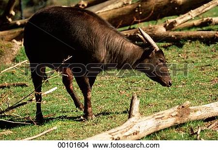 Stock Photo of Bubalus, Juniors, afield, animal, animals 00101604.