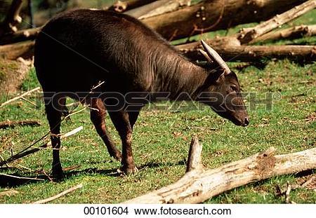 Stock Photo of Bubalus, Juniors, afield, animal, animals 00101604.