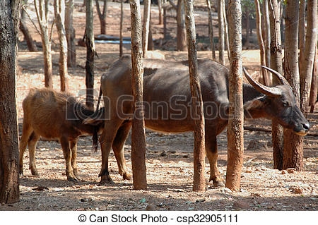 Stock Photography of Water Buffalo (Bubalus bubalis).