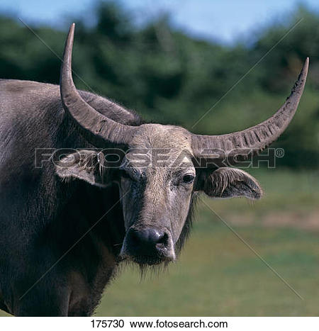 Stock Photography of Domestic Asian Water Buffalo (Bubalus arnee.