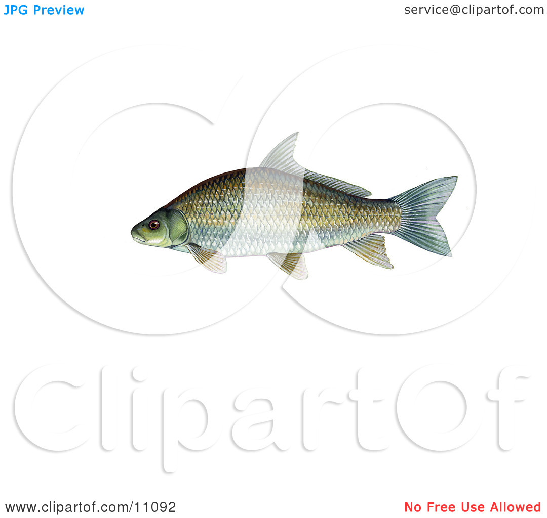 Clipart Illustration of a Smallmouth Buffalo Fish (Ictiobus.