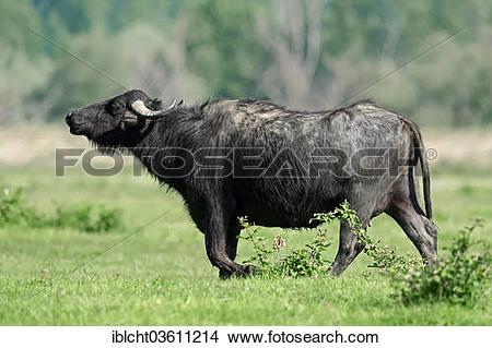 "Stock Photo of ""Domestic Buffalo, Asian Water Buffalo (Bos arnee."
