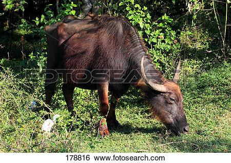 Stock Images of Wild Asian Water Buffalo (Bubalus arnee), adult.