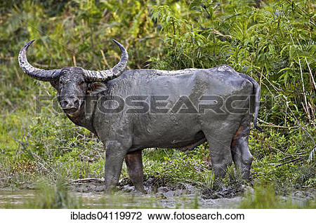Stock Photo of Wild Water Buffalo (Bubalus arnee) in the mud.