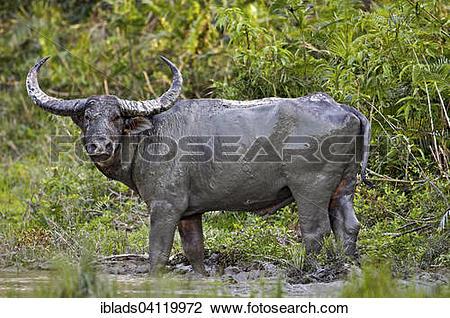 Stock Photo of Wild Water Buffalo (Bubalus arnee) in the mud.