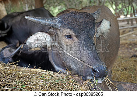 Stock Image of asian water buffalo or bubalus bubalis in paddock.