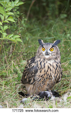 Stock Image of Eagle Owl (Bubo bubo), adult with crow prey 171725.