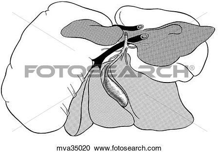 Stock Illustrations of Liver, lobes, canine mva35020.