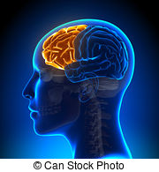 Frontal lobe Illustrations and Clip Art. 330 Frontal lobe royalty.