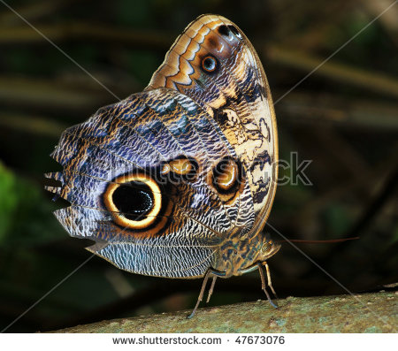 Owl Moth Stock Photos, Royalty.
