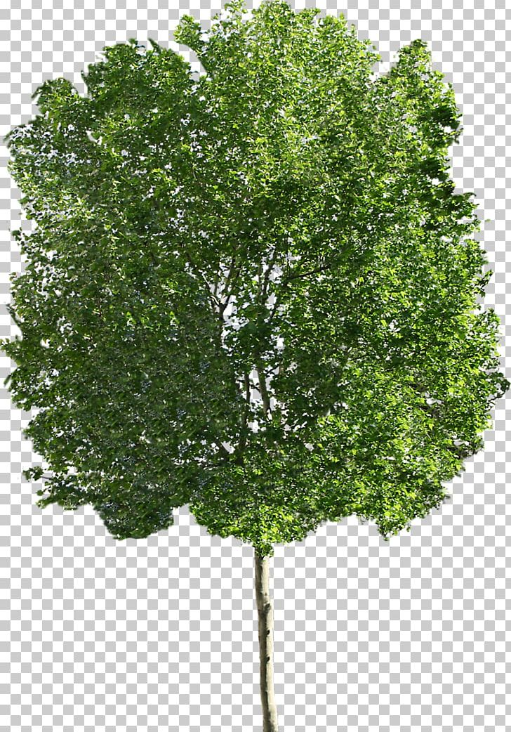 Ohio Buckeye Sugar Maple Tree PNG, Clipart, Bark, Birch, Branch.