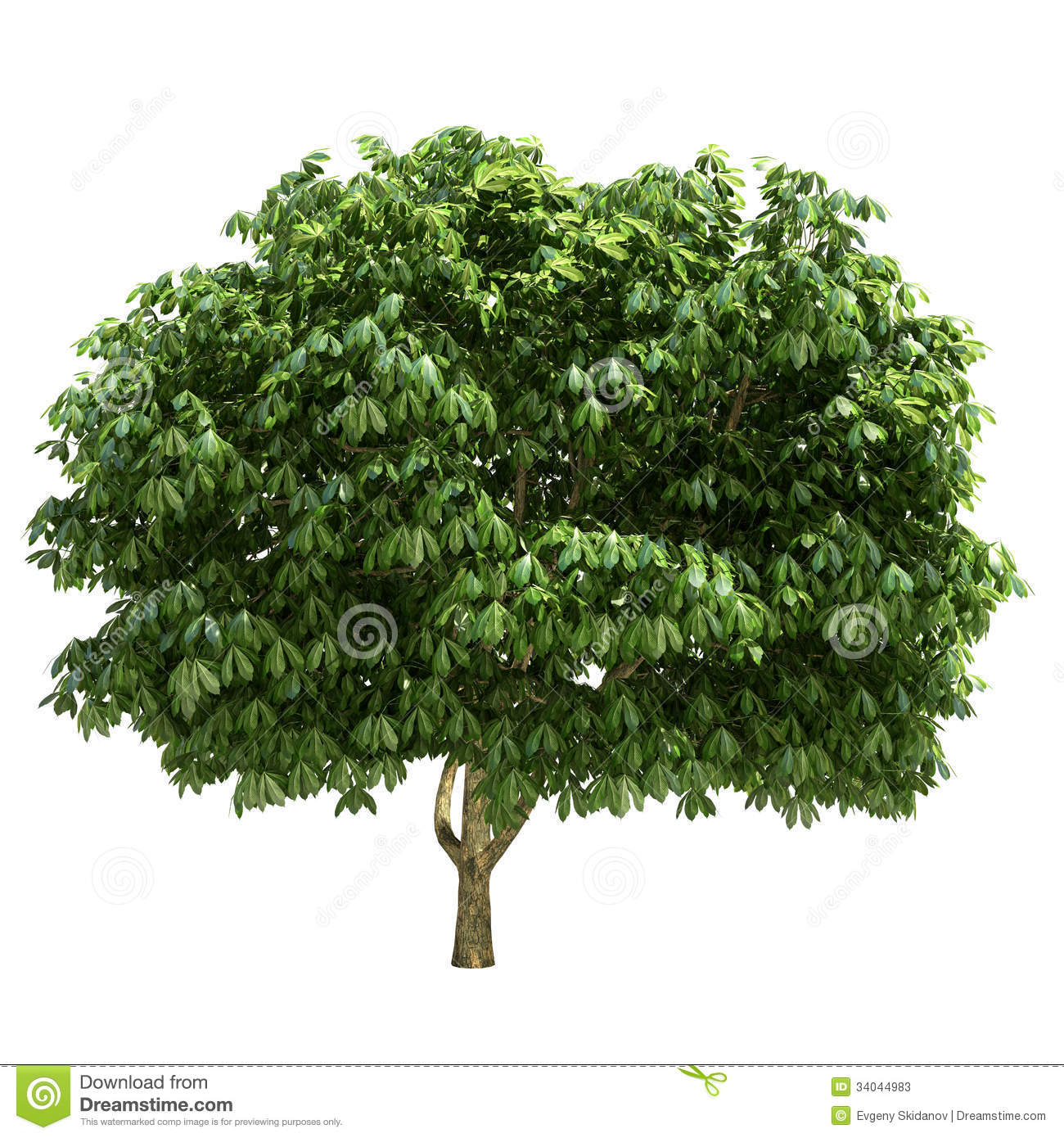 Buckeye Tree Isolated Stock Photos.