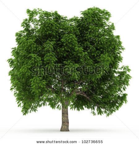 Buckeye Tree Stock Photos, Royalty.