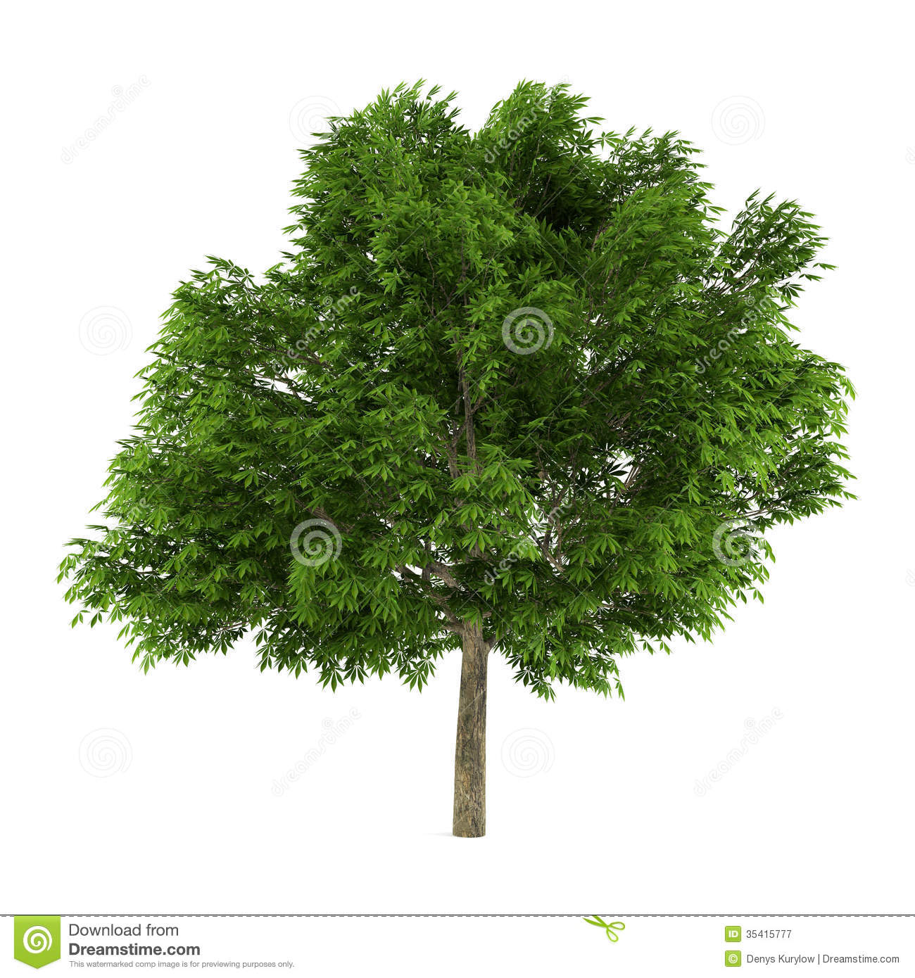 Tree Isolated. Aesculus Glabra Royalty Free Stock Photography.