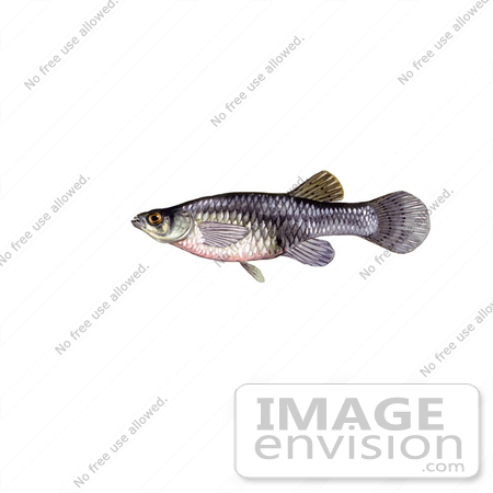 Clipart Image Illustration of a Freshwater Mosquitofish (Gambusia.