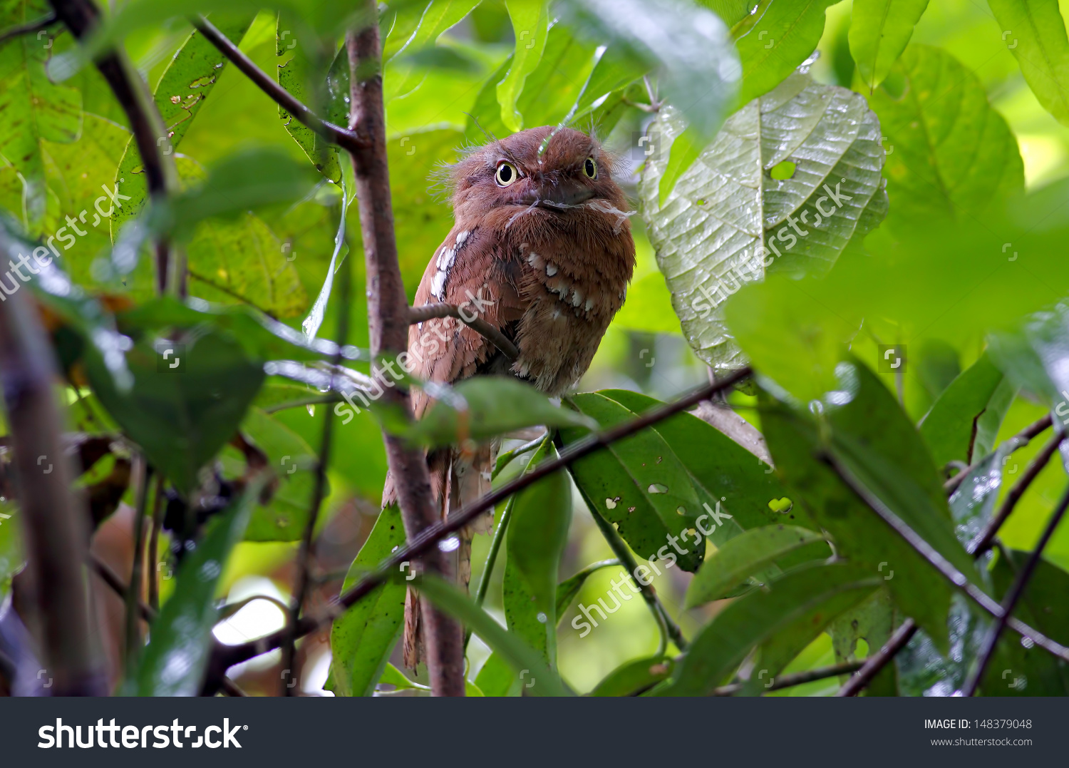Javan Frogmouth Blyths Frogmouth Batrachostomus Affinis Stock.