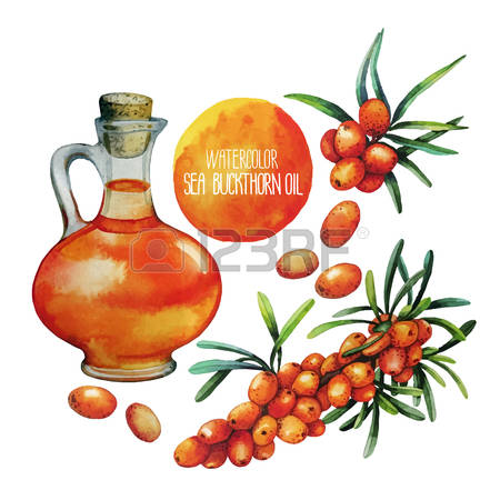 304 Sea Buckthorn Stock Vector Illustration And Royalty Free Sea.