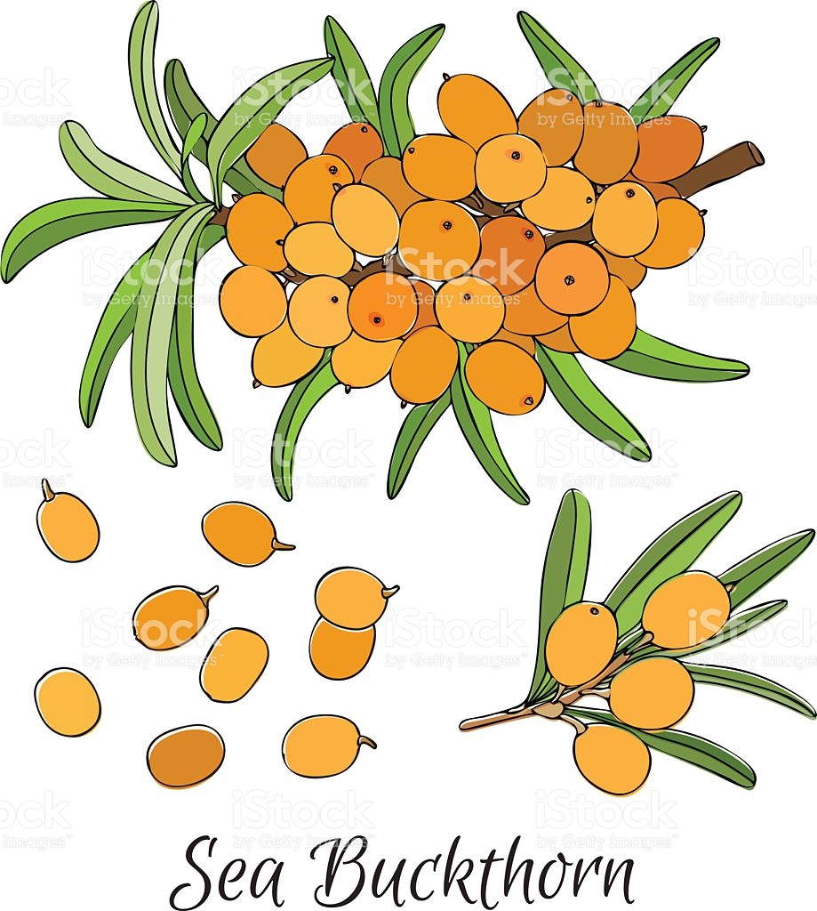 Branch Of Sea Buckthorn Berries stock vector art 541141620.