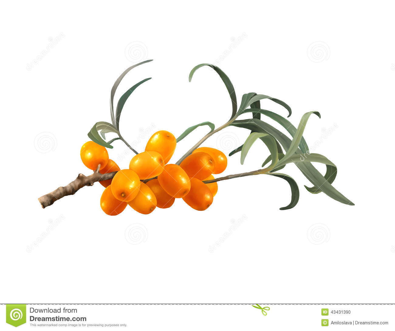 Sea Buckthorn Berries. Stock Vector.
