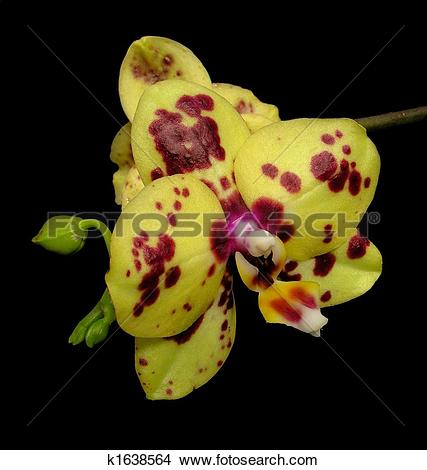 Stock Photo of spotted moth orchid.