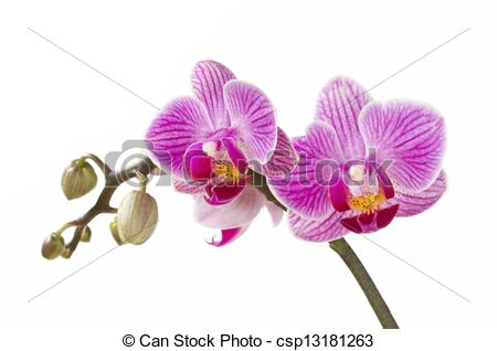 Stock Image of Phalaenopsis; moth orchid flowers and buds on white.