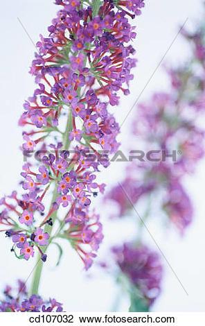 Stock Photo of Butterfly Bush (Buddleia hybr.) cd107032.