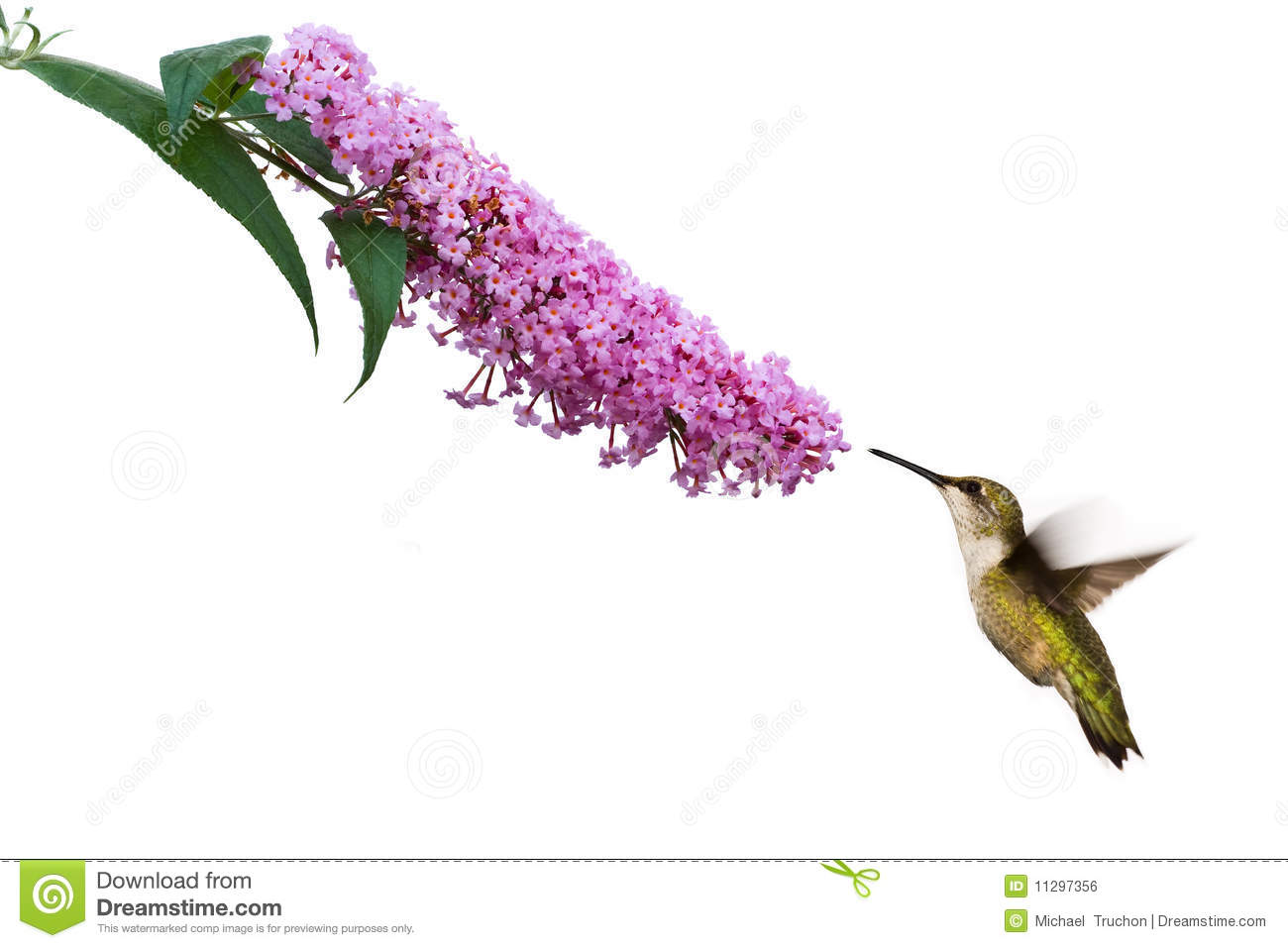 Hummingbird Hovers At Pink Buddleia Flower Royalty Free Stock.