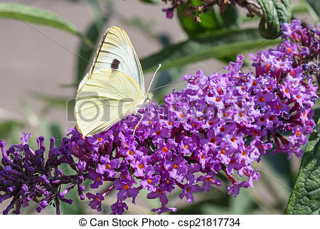Stock Photos of Cabbage White Butterfly on Buddleia.